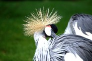 grey-crowned-crane-112242__340