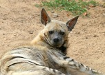 hyena-1476539_960_720