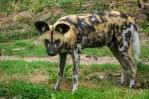 hyena-3557778_960_720