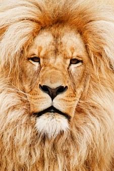 africa-lion