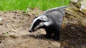 badger-negele2