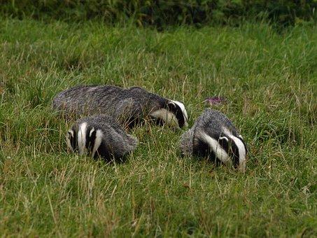 badgers-negele6