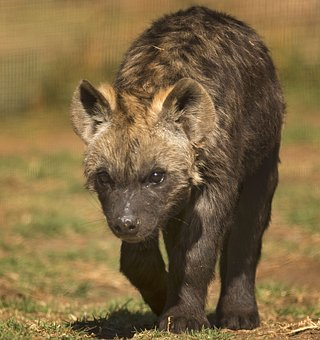 spotted-hyena-2798926__340