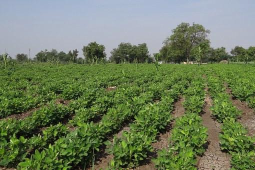 peanut-field