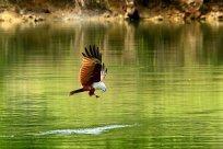 red-hawk