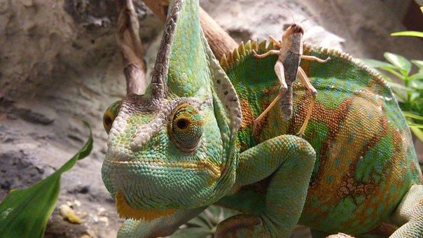 chameleon-