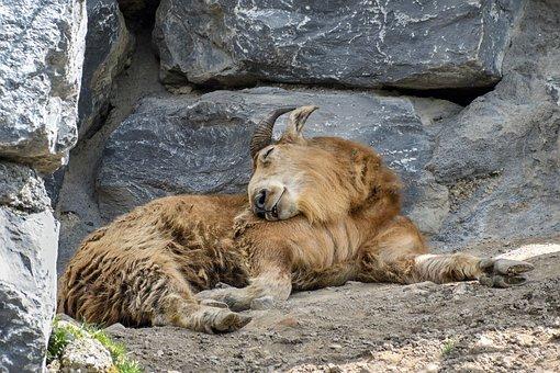 ram sleeping