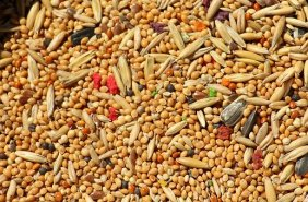 grains millets