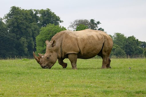 rhino-