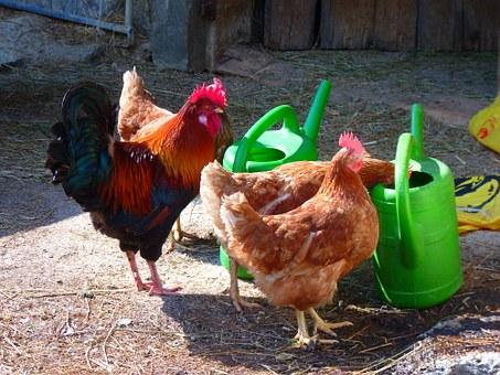 hens drinking