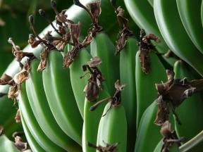 banana-bunch