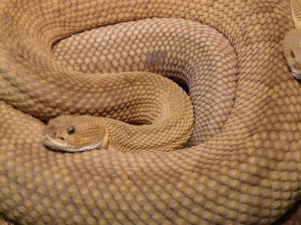 basilisk-rattlesnake