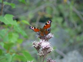 buterfly-balababu