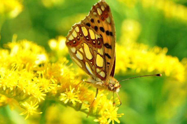 butterfly-balababu