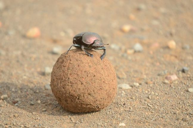 dung-beetle-jipilingitwa