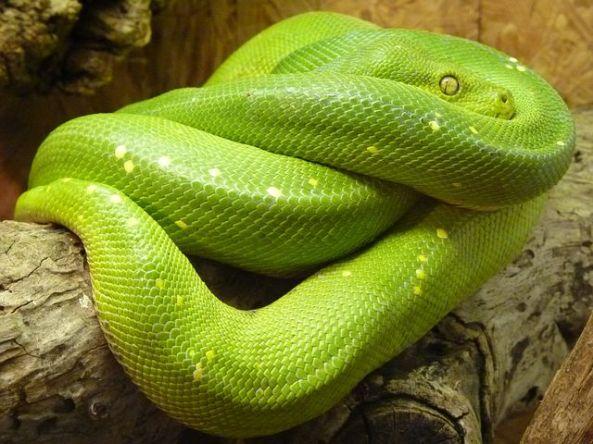 green-tree-python