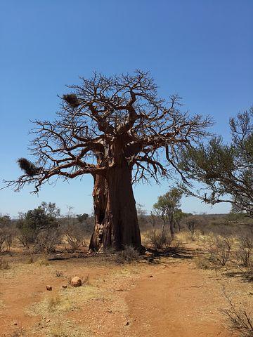 baobab-ng'wandu