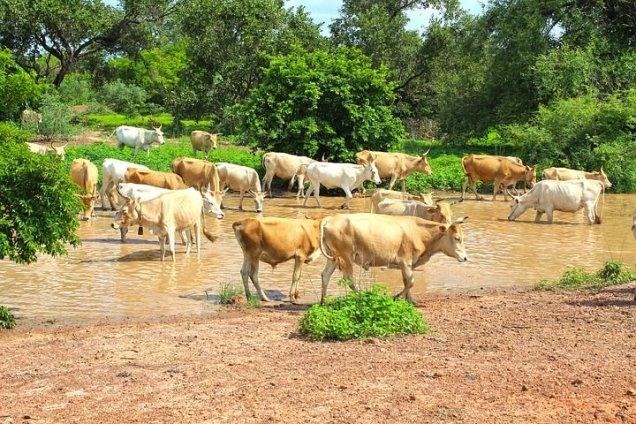 cows-ng