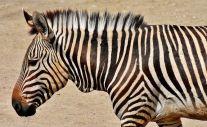 ndulu zebra