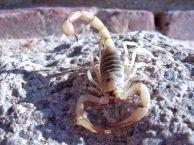 scorpion4