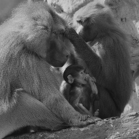 baboon nguku na ng'wana