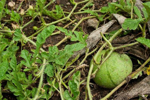 water-melon-1068293__480