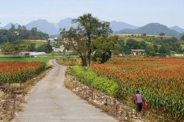 african-millet-field