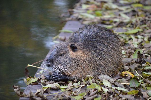 rat water-rat