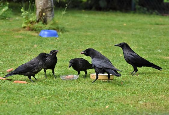 crow kunguru raven-1