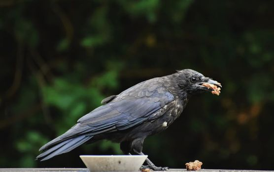 crow kunguru