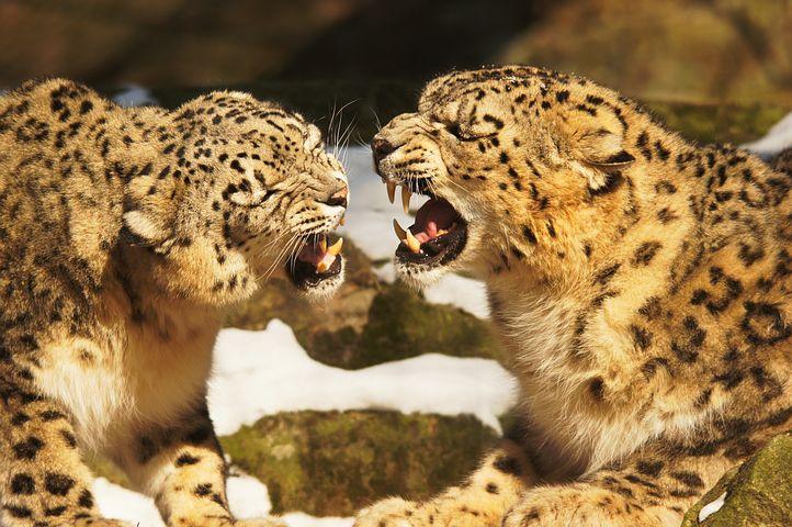 leopards subhi