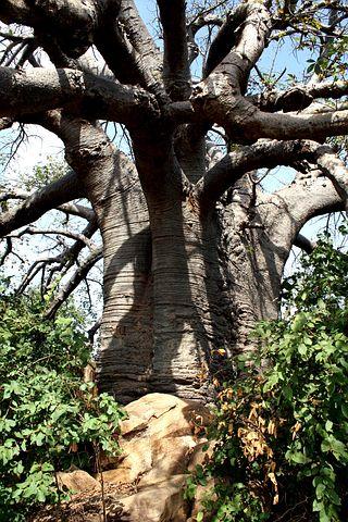 baobab-1