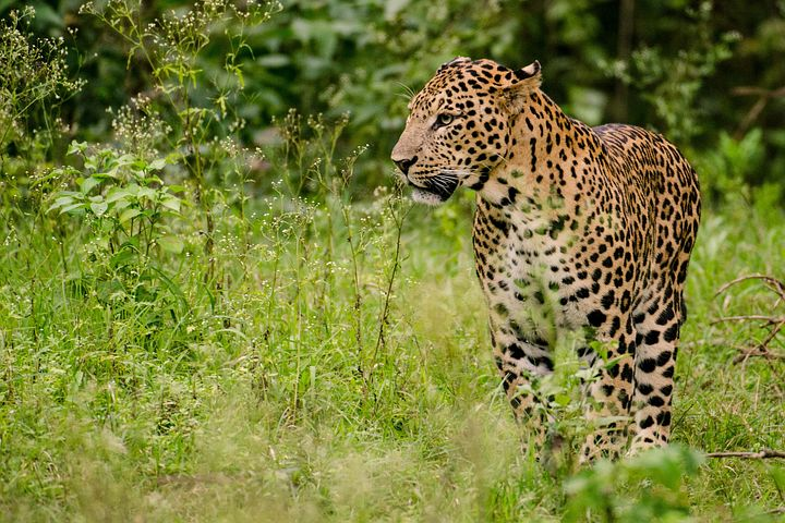 leopard subhu