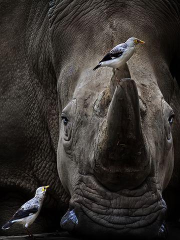 rhino-mhela