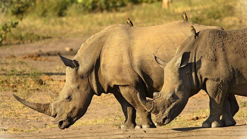 rhinoceros-mhela