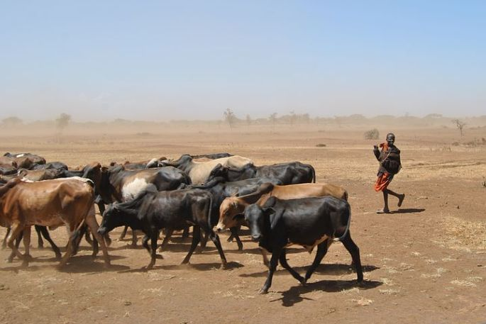 cattle-