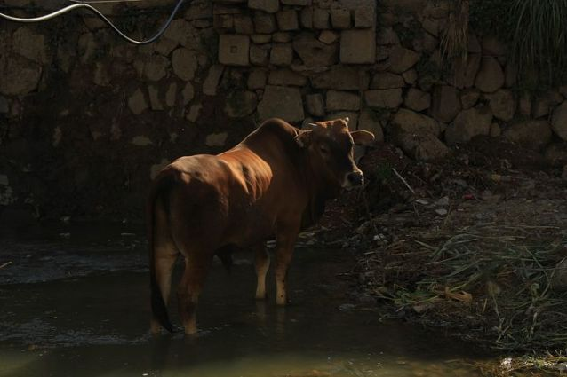 cow---