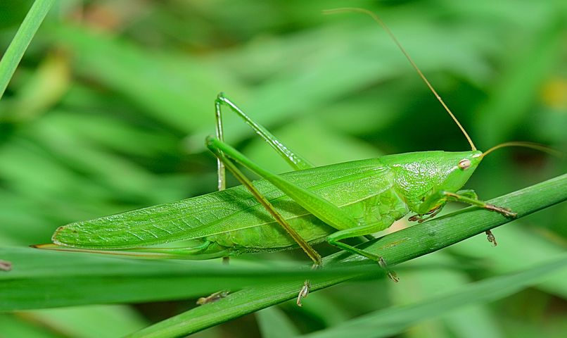 insect-GRASSHOPPER