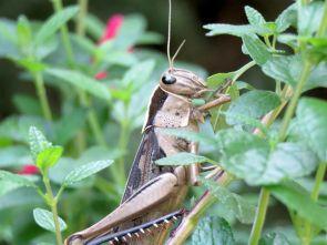 locust-