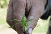 locusts-