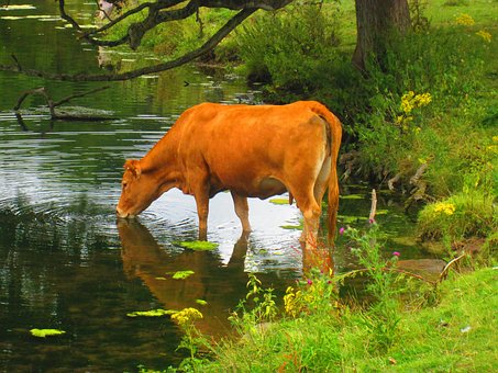 cow--1