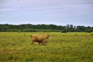 cows-and calf