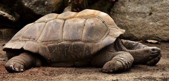 giant-tortoises-