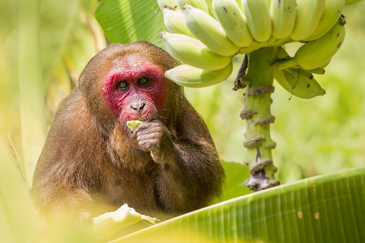 stump-tailed-macaque-