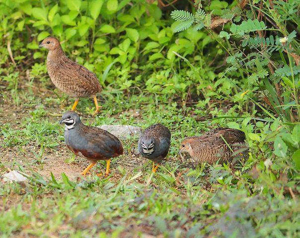 button-quail-