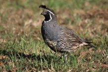 california-quail-