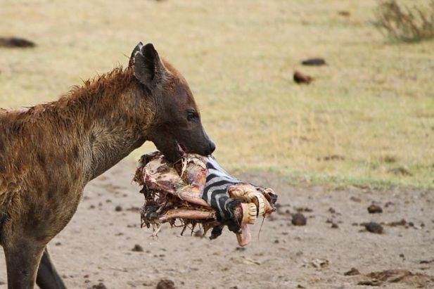 hyena-