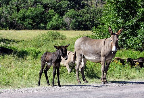 mammal-donkey with baby
