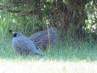 quail-----