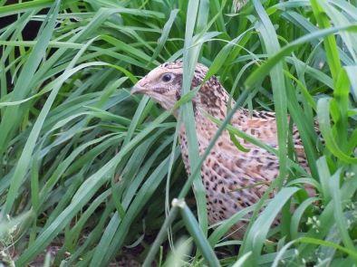 quail----